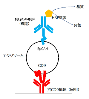 EpCAM陽性exosome ELISA 反応模式図.png