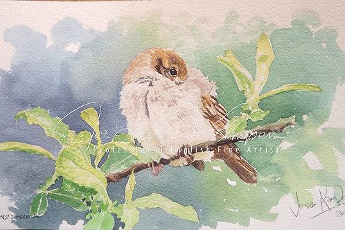 Baby Sparrow, watercolour. Original.