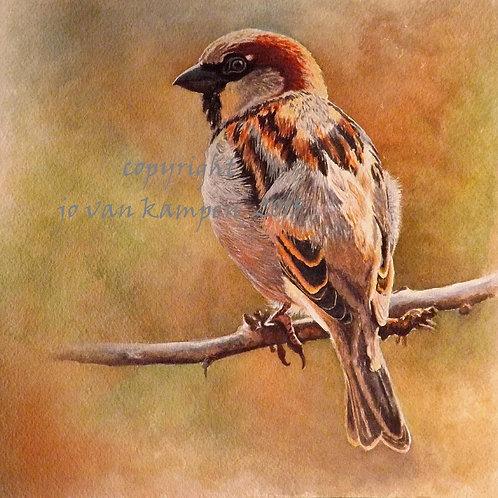 House sparrow, print.