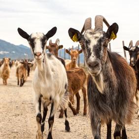FERRARI berger en Corse