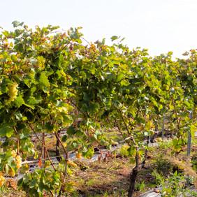 les fruits de Pozzo di Vigna