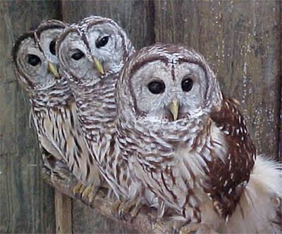 barred owls perched