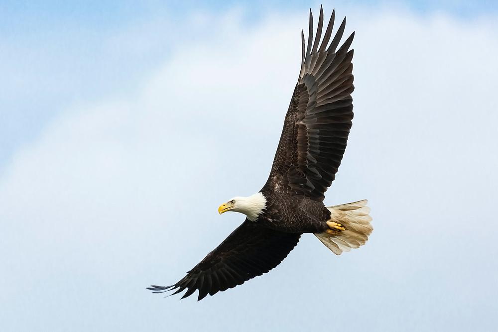 bald eagle symbol united states