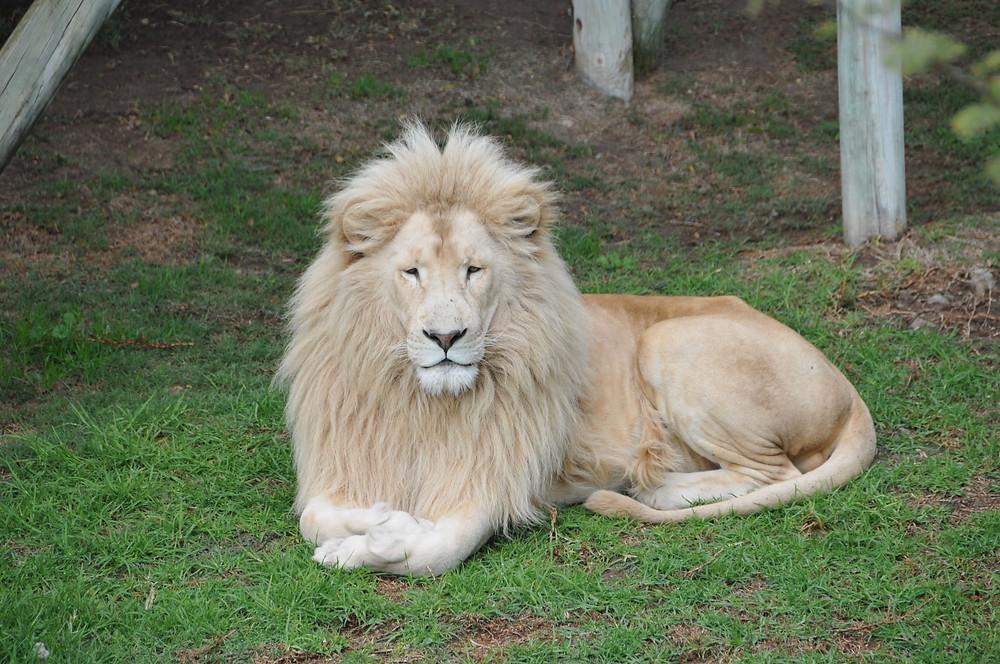barbary lion symbol england