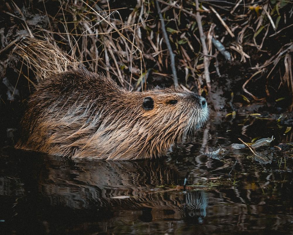 beaver symbol canada