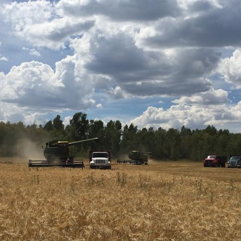 wheat (5).jpg