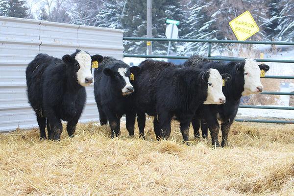 bb heifers2.JPG