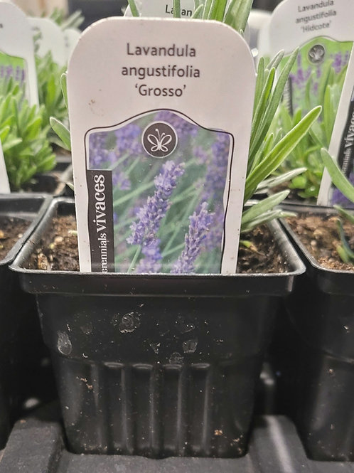 """Lavender """"Grosso"""" Baby Plant"""