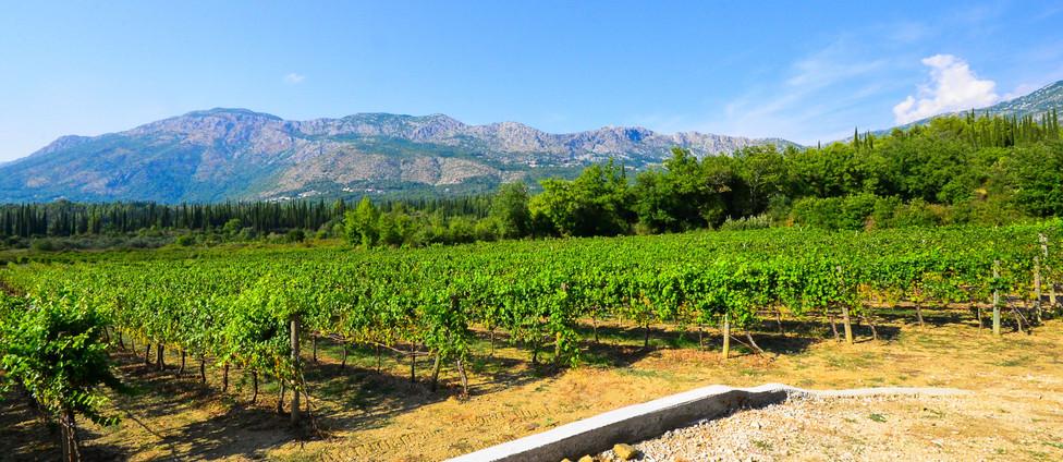 vinograd1.jpg