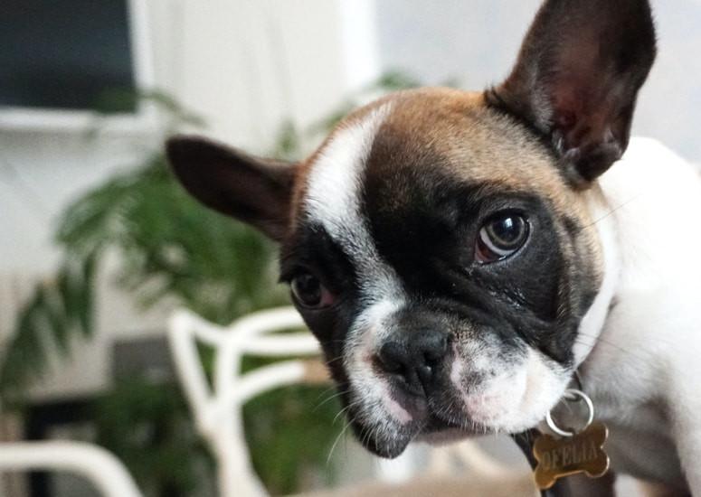 Doggy sad because of dog eye discharge