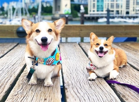 This is the best thing you'll see today - meet Vancouver's Corgi BFFs