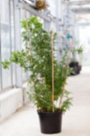 19%20Hanfpflanzen_015_edited.jpg