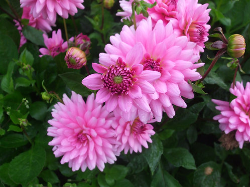 Dahlia 'Piper's Pink'