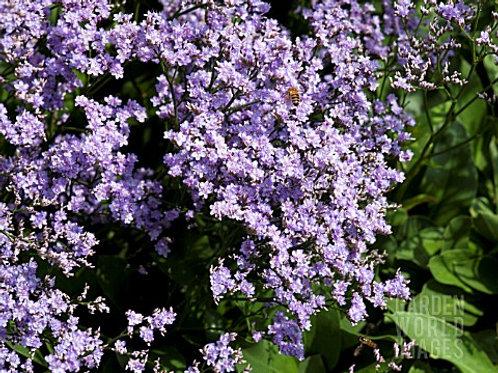 Limonium platyphyllum Robert Butler  (Sea Lavender)