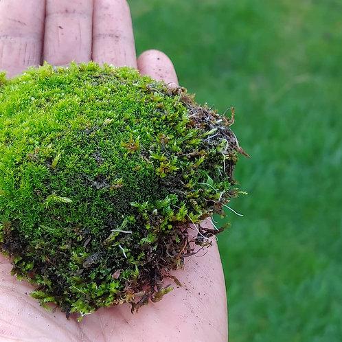 Live moss