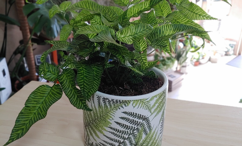 Coniogramme Emeiensis (Chinese Bamboo Fern)