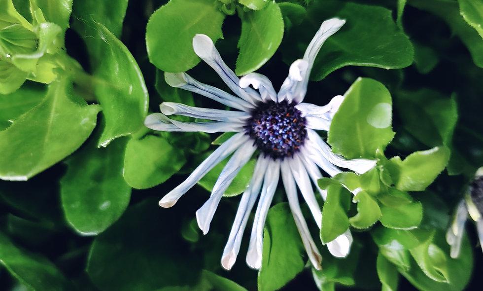 Osteopermum Spoon Flower