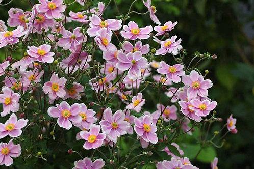 Anemone xh. 'Robustissima'