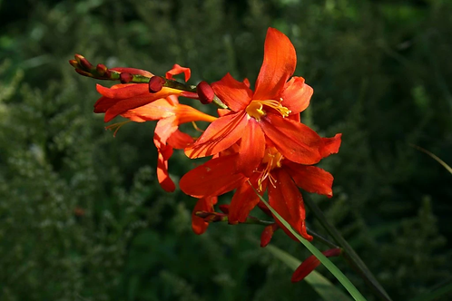 Crocosmia xc. 'Zeal Tan'