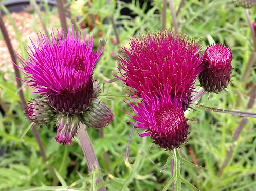 Cirsium r. 'Trevor's Blue Wonder' (Ornamental Thistle)