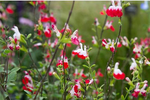 Salvia xj. 'Hot Lips'
