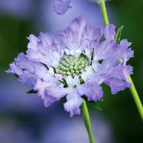 Scabiosa c. 'Perfecta Blue' (Scabious)