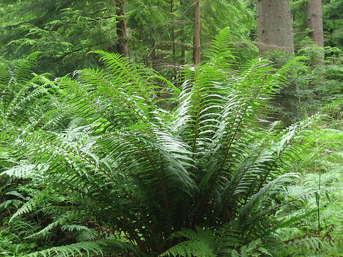 Dryopteris a. 'Cristata' (The King)