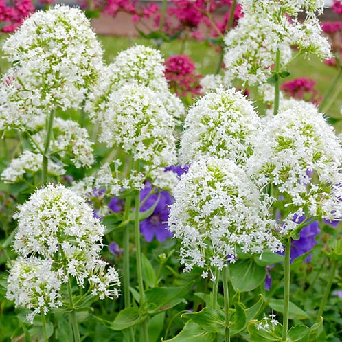 Centranthus ruber 'Albus'  (Red Valerian as a white form)