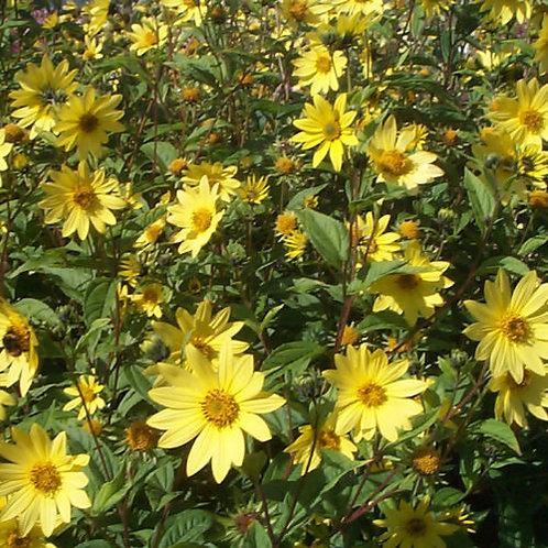 Helianthus 'Lemon Queen' (Sunflower)