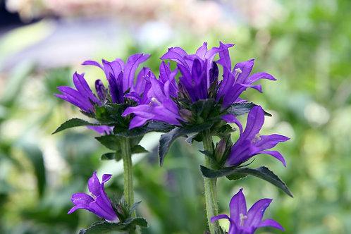 Campanula glomerata 'Superba' (Bellflower)