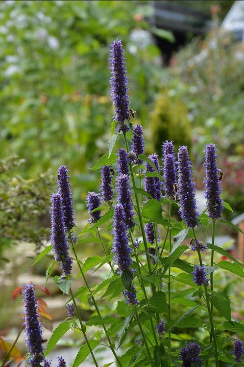Agastache rugosa 'Liquorice Blue' (Giant Hyssop)