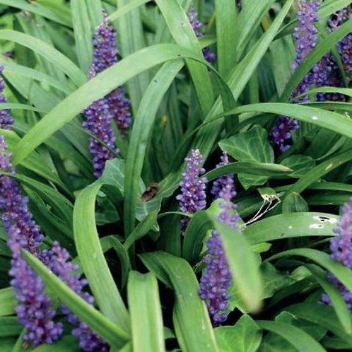 Liriope muscari 'Big Blue' (Lily Turf)