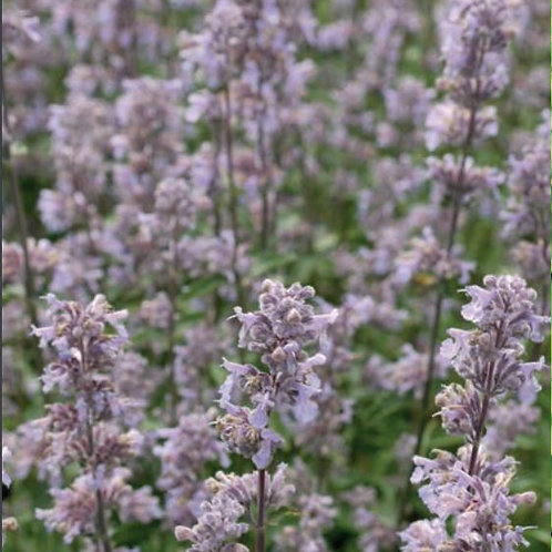 Nepeta xf. 'Crystal Cloud' PBR(Catmint)