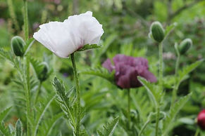 Papaver pattys plum.JPG