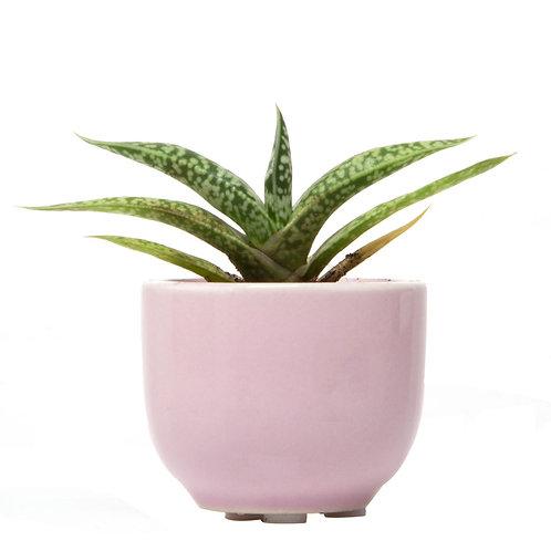 Mini Succulent Pot Favor