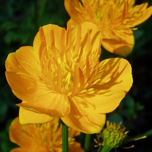 Trollius chinensis 'Golden Queen'  (Globeflower)