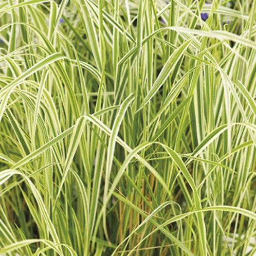 Calamagrostis xa. 'Overdam'  (Feather Reed Grass)
