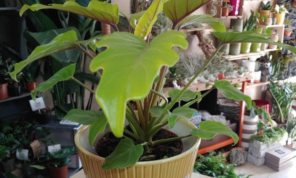 Philodendron Xanadu Gold