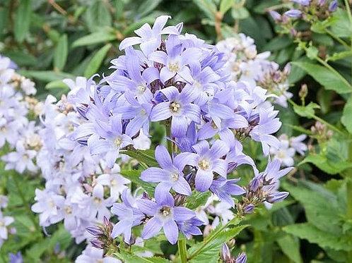 Campanula l. 'Prichard's Variety' (Bellflower)