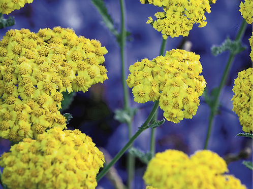 Achillea 'Little Moonshine' PBR