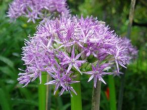 Allium-Globemaster-768x576.jpg
