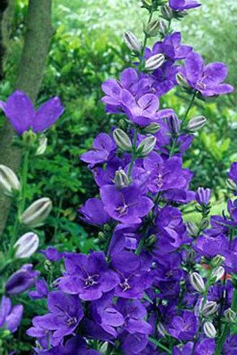 Campanula l. 'Highcliffe Variety' (Bellflower)