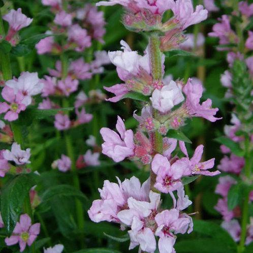 Lythrum salicaria 'Blush' (Loosestrife)