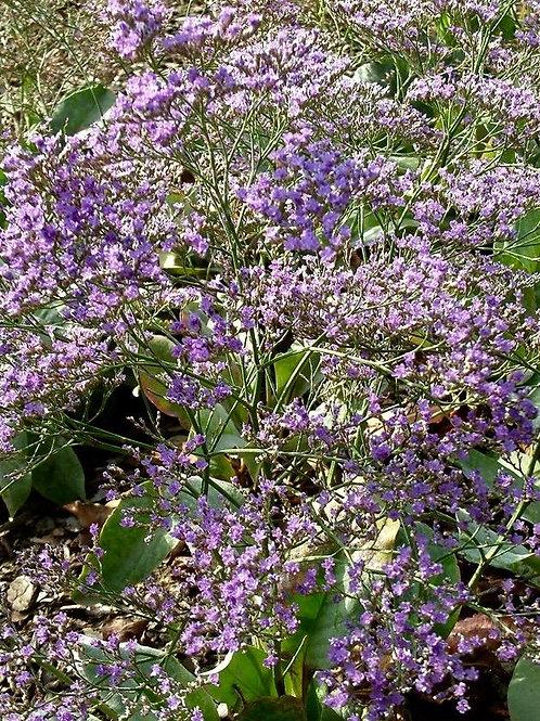 Limonium platyphyllum 'Violetta'  (Sea Lavender)
