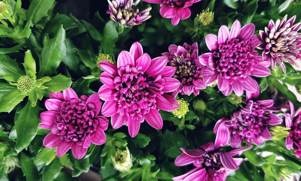Osteopermum Double Purple