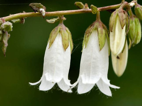 Campanula alliariifolia (Bellflower)