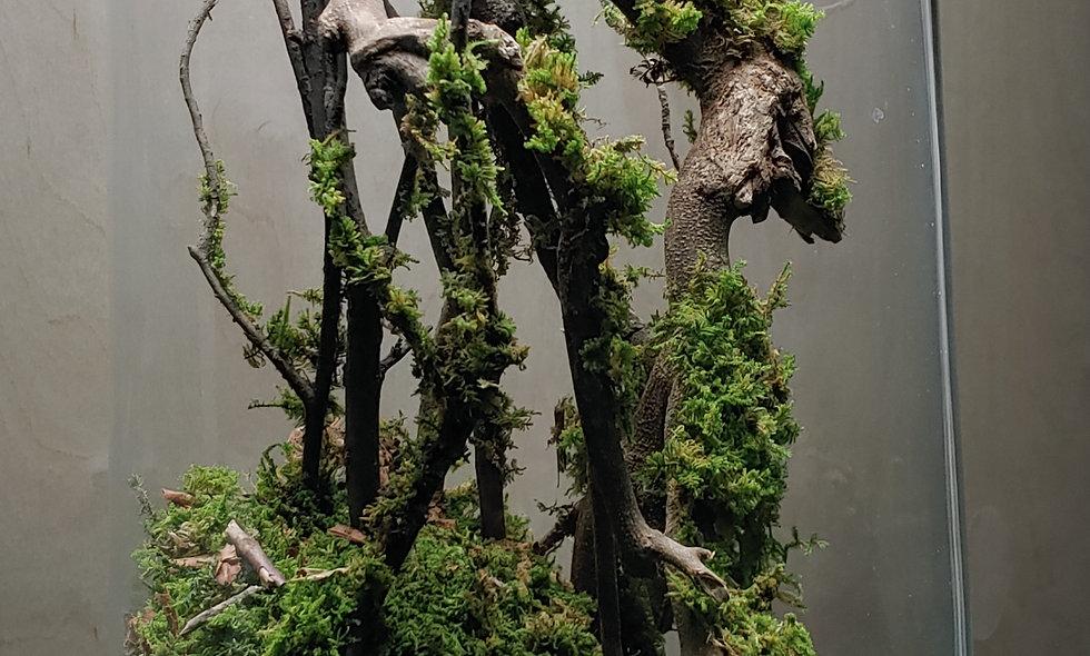 Ancient Tree Preserved Mossarium
