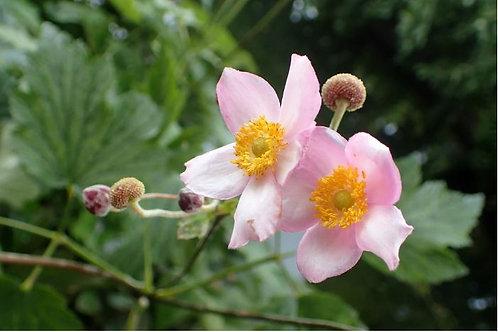 Anemone xh. 'Richard Ahrens'