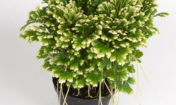 Selaginella Jori (Clubmoss)