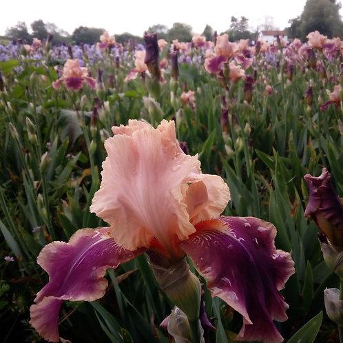 Iris 'Carnaby'